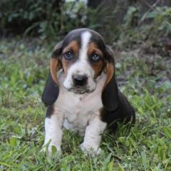 Beautiful Litter Of Pedigree Basset Hound Puppie
