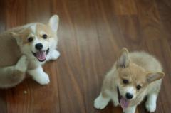 Well Socialized And Playful Corgi Puppies Ready
