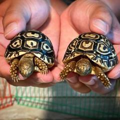 Beautiful Shell Leopard Tortoises