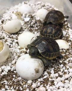 Black Greek Tortoises