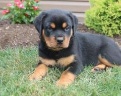 Adorable Rottweiler Puppies Available