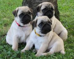 Perfecto Pug Puppies Available ,