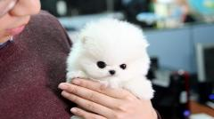 Registered Pomeranian Puppies,