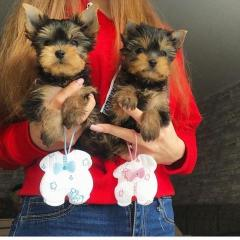 Male And One Female Yorkshire Terrier Puppies Re
