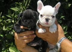Healthy Registered French Bulldog Puppies
