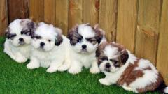 Magnificent Shih Tzu Puppies For Sale