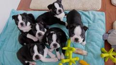 I Have A Male And A Female Boston Terrier Puppie