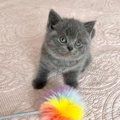 British Shorthair Kittens Are Available
