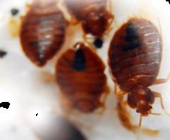 Getting Rid of Infestations of Bed Bugs in Milton Keynes
