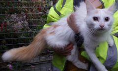 Snowflake the fluffy ginger and white cat needs a lovin