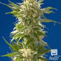 High Quality Ganja Seeds