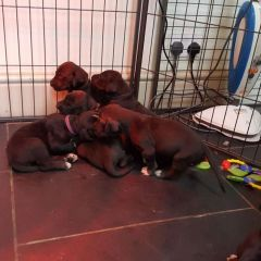 ADORABLE AND LIVELY GREAT DANE PUPPIES FOR SALE