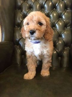 READY NOW - CHOCOLATE LABRADOODLE PUPPY