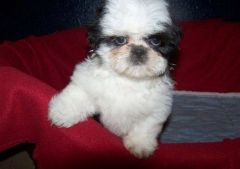 SHIH TZU PUPPIES FOR NEW HOMES