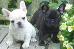 EXCELLENT BLUE FRENCH BULLDOG PUPPIES READY TO GO