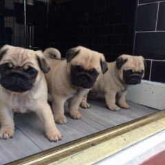 TOP QUALITY PUG PUPPIES AVAILABLE