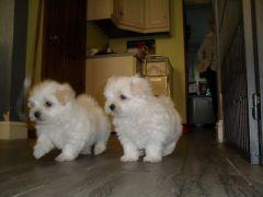 Priceless White Maltese Pupipies For Adoption