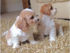 F1 Cavashon puppies in Llanelli