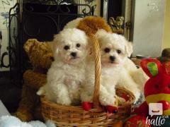 Kc Registered Amazing Bichon fris Pups.