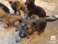 German Shepherd Puppy For Sale.whatsaap. 07418332038
