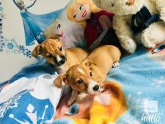 Jack Rusel pups whatsaap.07418332038