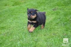 Golden Retriever Puppies.whatsaap  07418332038