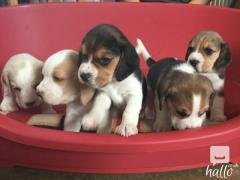 Beagle Puppies 11 Week Old Ready Now