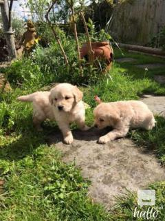 GOLDEN RETRIEVER PUPPIES AVAILABLE.