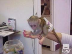 CUTE FAMILY TYPE CAPUCHIN MONKEY AVAILABLE