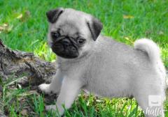 Kc Registered Pug Puppies.whatsaap 07418332038