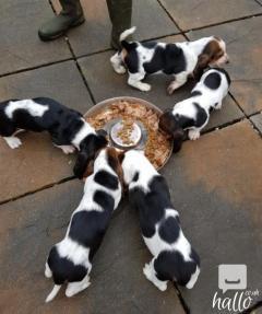 Kc Registered Basset Hound Pups