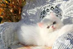 persian kittens 07031942650 lill12polinegmail.com