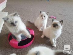Ragdoll Kittens 07031942650    lill12polinegmail.com