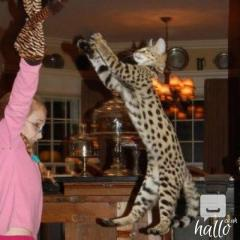 Savannah kittens 07031942650 lill12polinegmail.com