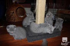 bs Shorthair kitten 07031942650 lill12polinegmail.com