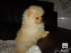 Polar White Pomeranian Puppy Male