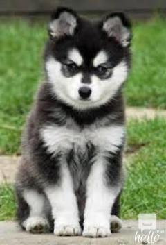 Cute Pomsky Puppies 571-393-6027