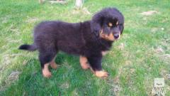 For Sale Tibetan Mastiff Puppies
