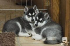 Beautiful litter of Kc Reg Alaskan Malamute Puppies
