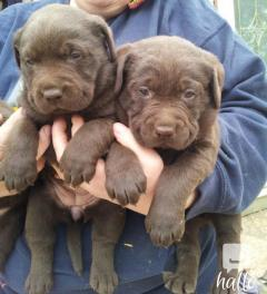 KC reg full pedigree English Chocolate Labrador Puppies