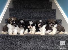 Beautiful KC registered Lhasa Apso puppies