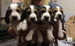 Purebred Basset Hound Puppies forsale (papered parents