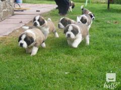 Saint Bernard puppies both rough and smooth coats avail