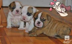 Ready Now 4 Stunning KC Reg British Bulldog Pups