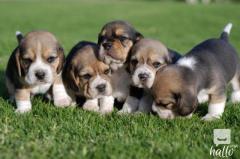 Pedigree Queen Elizabeth Pocket Beaglee pups for sale