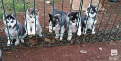 Stunning Pedigree Husky Pups with blue eyes ready now f