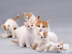 Stunning purebred Turkish Van Kittens for Sale