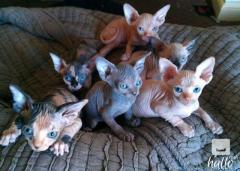 Gorgeous Hairless Sphynx Kittens READY NOW