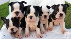 KC Reg Boston Terrier Puppies For Sale