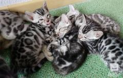 Stunning purebred bengal Kittens for Sale